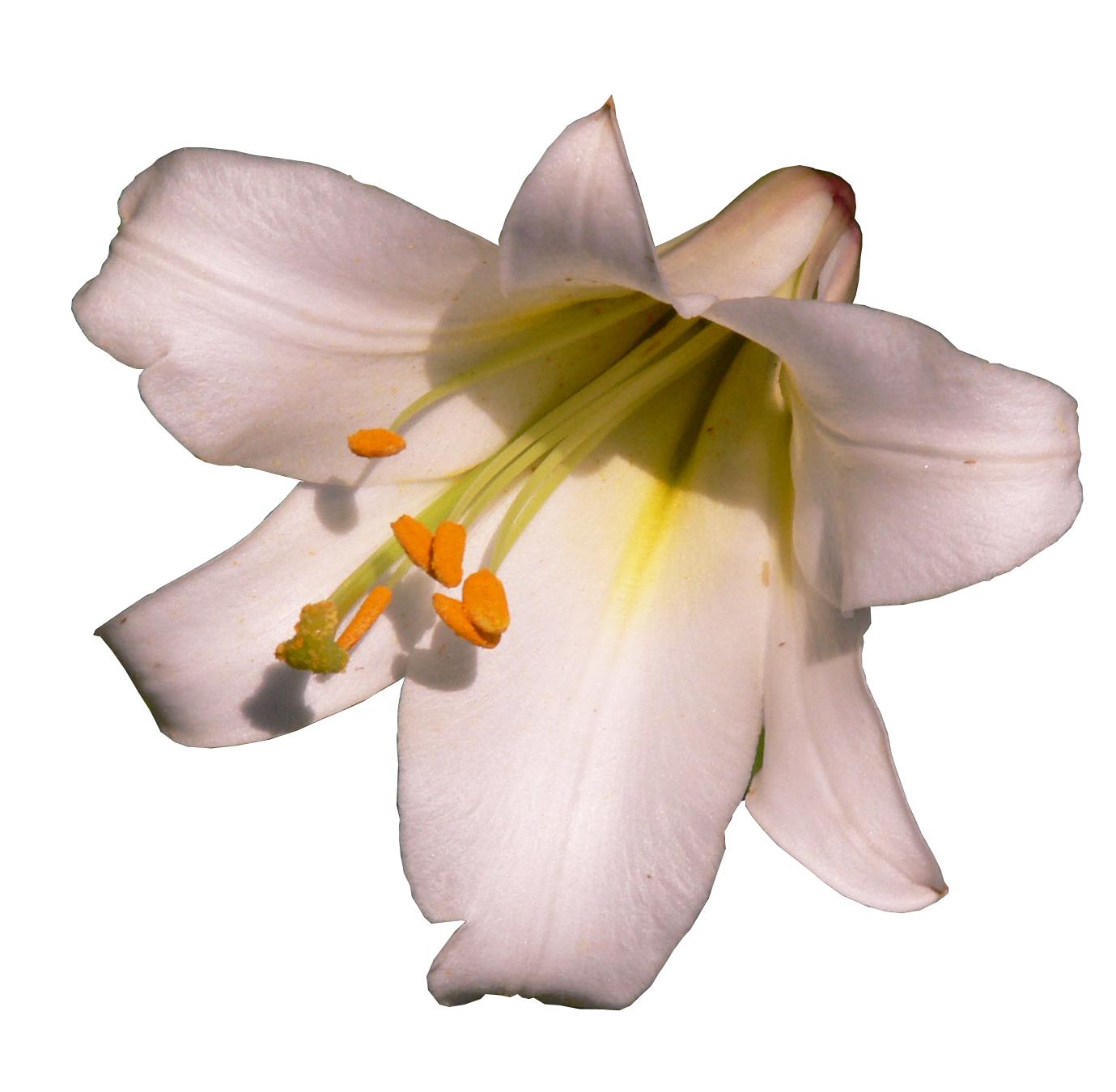 Лилии и лилейники