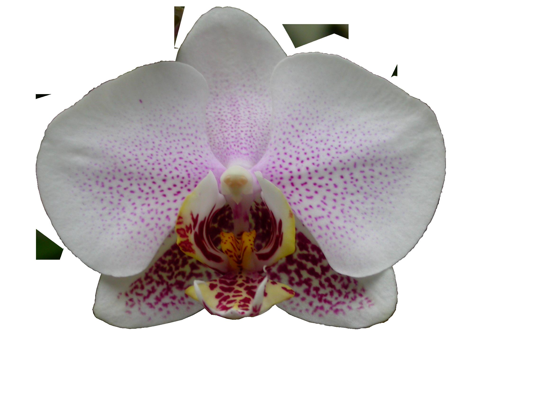 Орхидеи  Клуб любителей орхидей